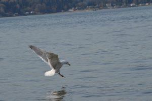 Week 19, Birds and Fish Gull, Gabriella Smith, age 19